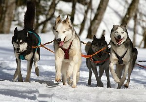 huskies-273409__340